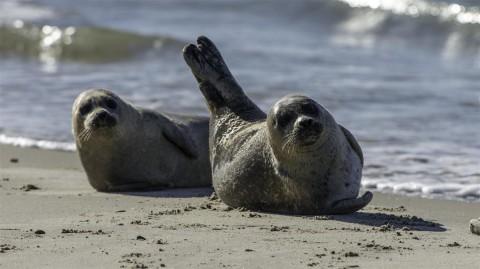 Harbour seal, Grenen, Denmark