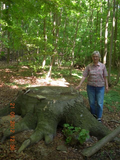 Figur 2 bøg fældet 1811 Sonnerup skov