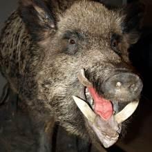Kongejagt_svin
