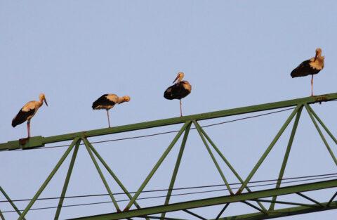 White Storks 2, Marsa, 15Sept2014 RG