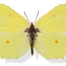 Plakat danske sommerfugle