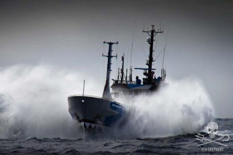 Seashepher_skib