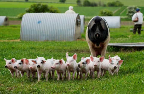 Svin_helen browning organic pigs
