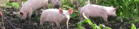 pigs-at-krogagergaard
