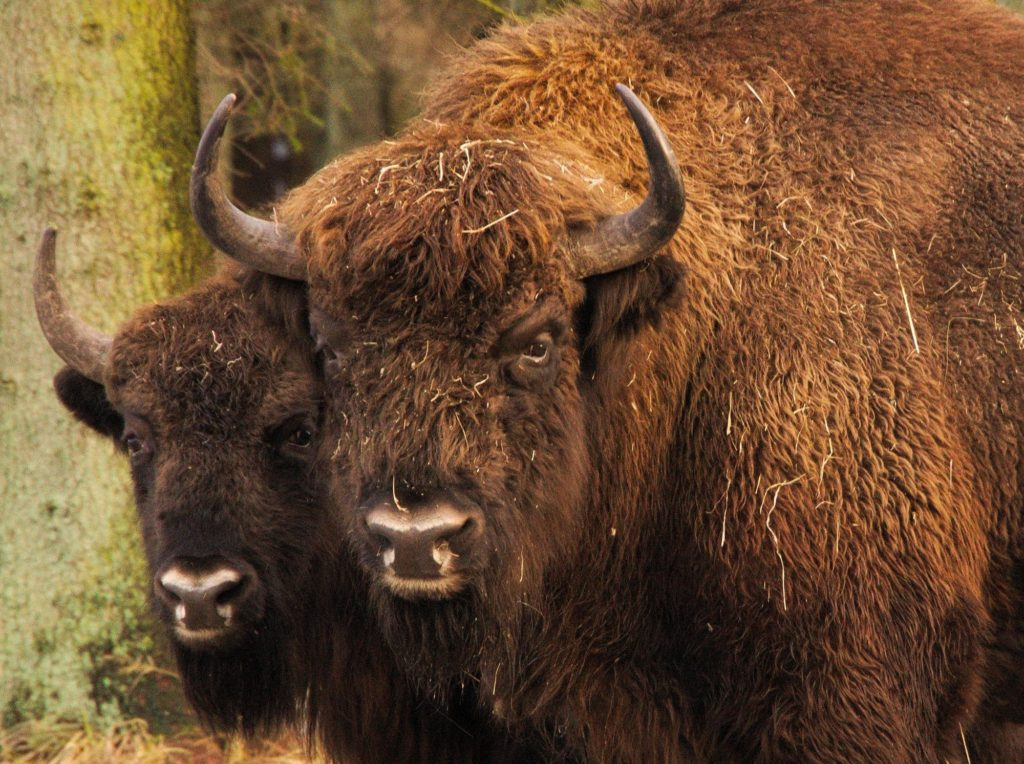 bison-to-portraetter-22-1-2015-bisonskoven_soeren-friese_naturstyrelsen
