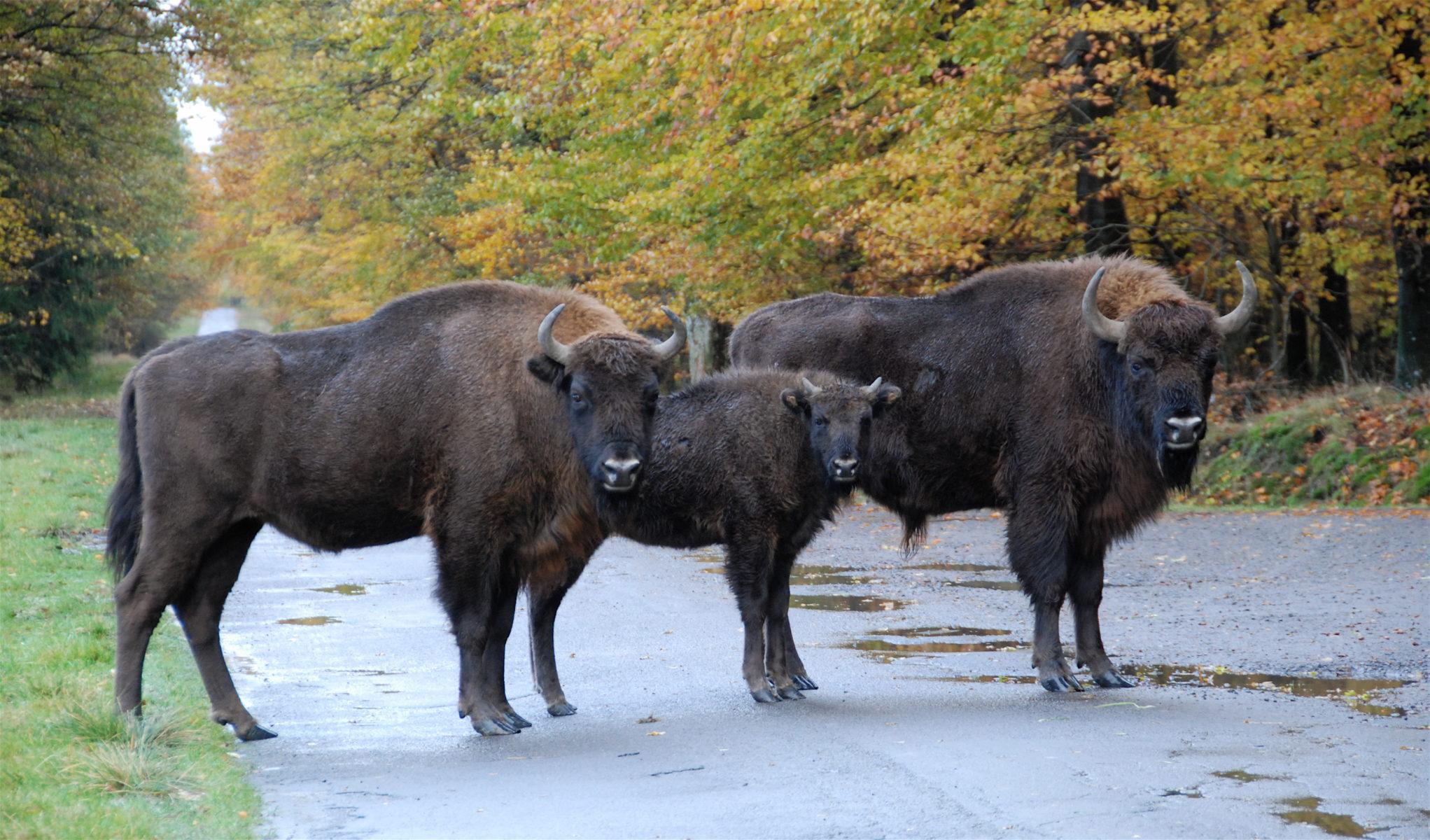 bison_ko-kviekalv-og-stor-tyrekalv-paa-vejen_1_bisonskoven_1-11-2016_mic