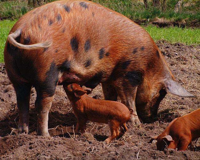 hvor mange grise får en so